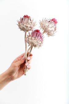 Trzy suche kwiaty karczochów w kobiecej dłoni na białej ścianie