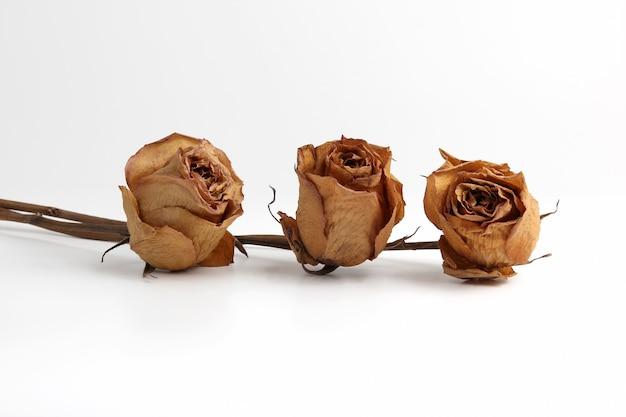 Trzy suszone róże na białym tle