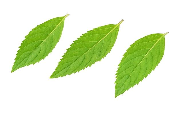 Trzy świeże zielone liście mięty na białym tle ze ścieżką przycinającą.