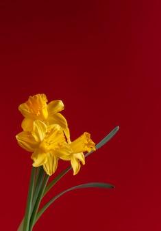 Trzy świeże żółte narcyzy, kwiaty żonkile na jasnoczerwonym tle.