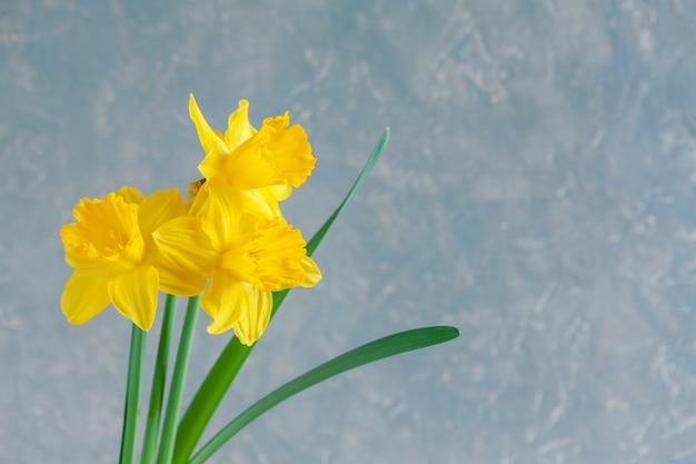 Trzy świeże żółte narcyzy, kwiaty żonkile na jasnoniebieskim tle.