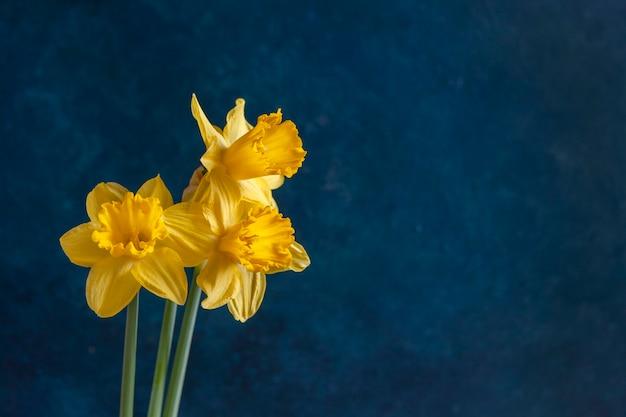 Trzy świeże żółte narcyzy, kwiaty żonkile na jasnym niebieskim tle.
