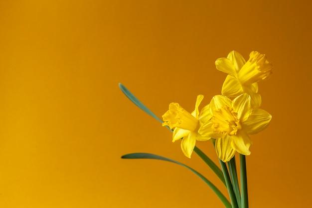 Trzy świeże żółte narcyzy, kwiaty żonkile na pomarańczowym tle.