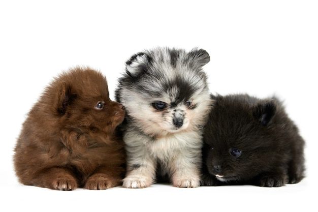 Trzy szczenięta szpic pomorski na białym tle. słodkie psy pomorskie na białym tle, brązowym, czarnym i szarym kolorze. rasowe szpice, przyjazne dla rodziny śmieszne psy pom.