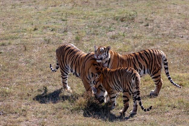 Trzy tygrysy stoją obok siebie. jeden z wystawionym językiem, pozostali dwaj pochylili głowy.