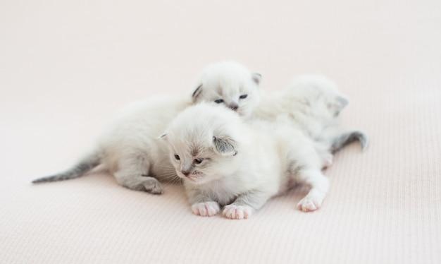 Trzy urocze małe kocięta ragdoll leżące na białym tle na białym tle z copyspace. śliczne małe rasowe koty razem zasypiają
