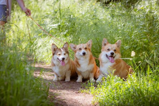 Trzy walijskie psy corgi na trawie