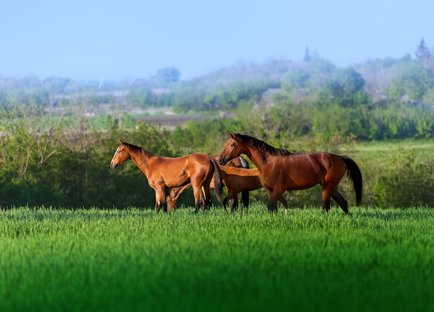 Trzy wolne konie spacerujące po polu w wysokiej soczystej zielonej trawie w pięknej scenerii. stado koni na pastwisku