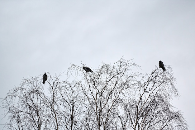 Trzy wrony siedzące na gałęziach drzew. koncepcja trzeciego koła. symbolika liczby trzy