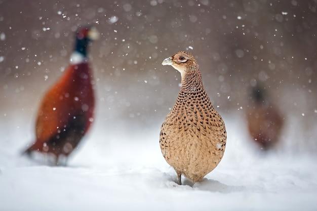 Trzy wspólne bażanty w zimie podczas opadów śniegu