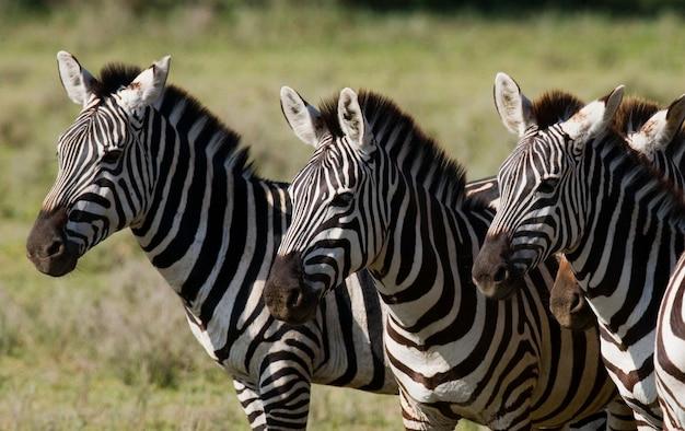 Trzy zebry stoją razem. kenia. tanzania. park narodowy. serengeti. masajowie mara.