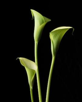 Trzy zielone lilie calla odizolowane na czarnej ścianie.