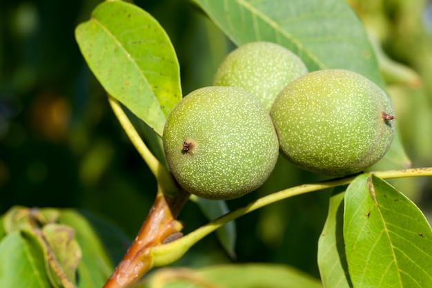Trzy zielone pakowane niedojrzałe orzechy włoskie wiszące na pniu drzewa, zbliżenie latem