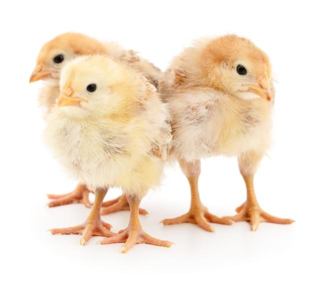 Trzy żółte kurczaki na białym tle