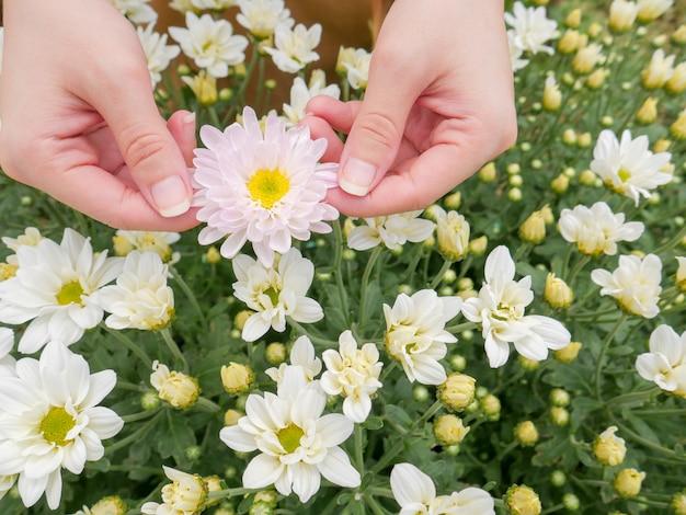 Trzyma piękny biały kwiat chrysanthemum w obu rękach z widokiem na ogród tle