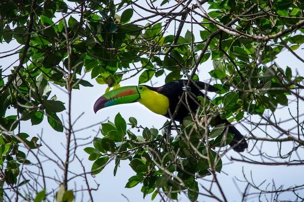 Tukan keelbilled arenal volcano national park kostaryka
