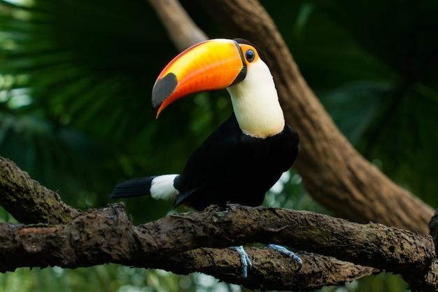 Tukan siedzi na gałęzi