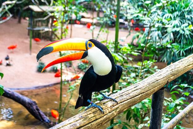 Tukan z brazylijskiego parku ptaków