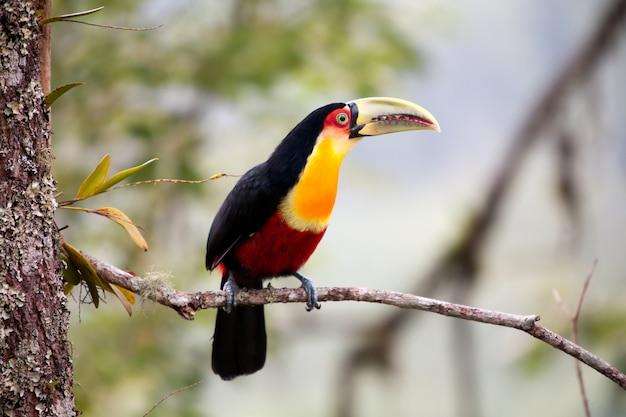 Tukan zielony - tukan czerwonoskóry