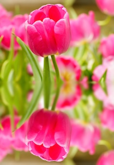 Tulipan kwiat kwitnący w tej dziedzinie