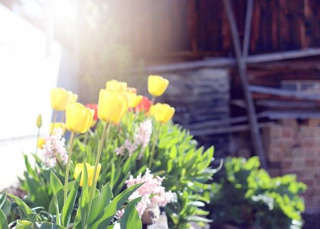 Tulipan kwitnie tło z rocznika filtrem
