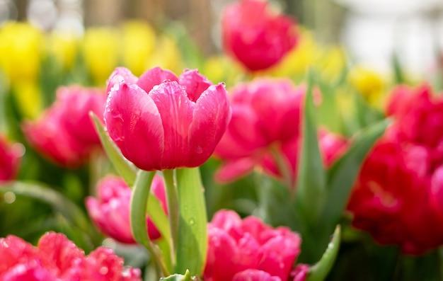 Tulipan kwitnie w ogródzie.