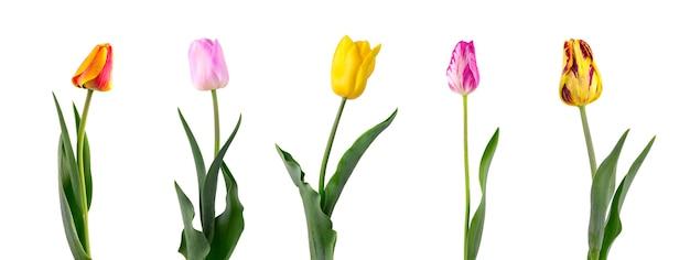 Tulipan na długim trzonie z liśćmi, odosobnionymi na biel przestrzeni. zestaw pięciu tulipanów różnych odmian
