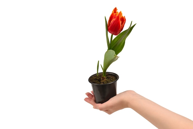 Tulipan w garnku w ręce kobiety na białym tle