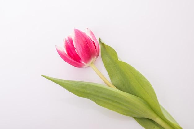 Tulipanowy kwiat biel i róża odizolowywający na biel powierzchni