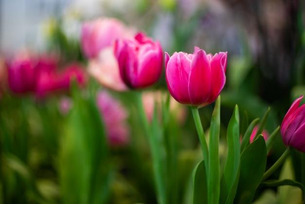Tulipanowy kwiat z zielonym liścia tłem w tulipanu polu przy zimą. projekt koncepcji rolnictwa.