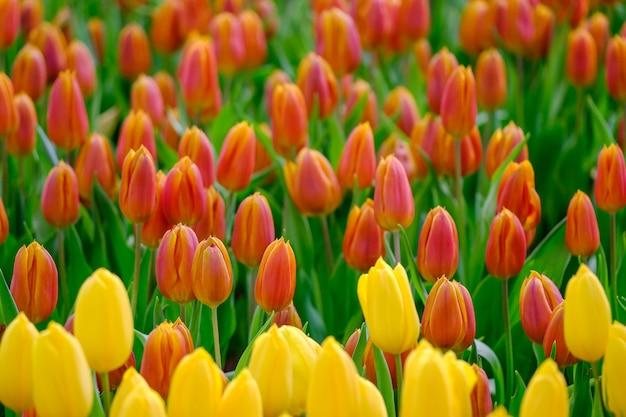 Tulipanowy kwiat z zielonym liścia tłem