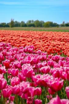 Tulipanu pole pod chmurnym niebem blisko keukenhof wioski holandii