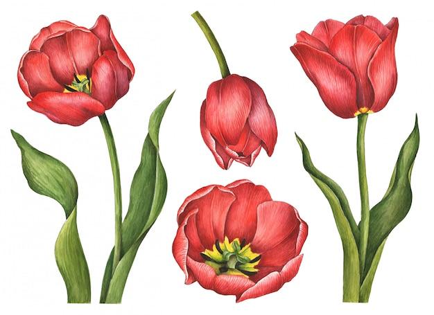 Tulipany akwarela na białym tle
