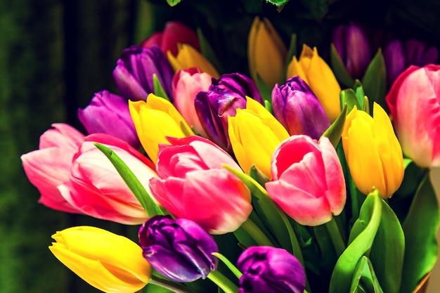 Tulipany fioletowe, żółte, różowe na ciemnozielonym tle. bukiet tulipanów.kolorowe tło do projektowania i kreatywności może służyć jako okładka do broszur lub tapet
