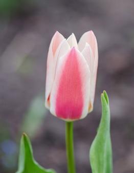 Tulipany greigii lub turkestan w ogrodzie