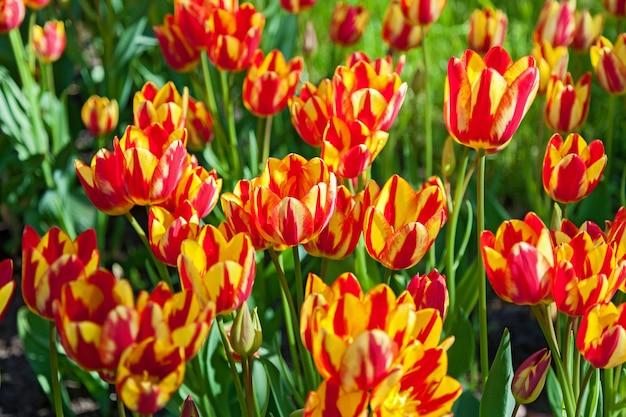 Tulipany, klomb z tulipanami kwitnącymi w różnych kształtach i kolorach, pierwsze wiosenne tulipany w parku