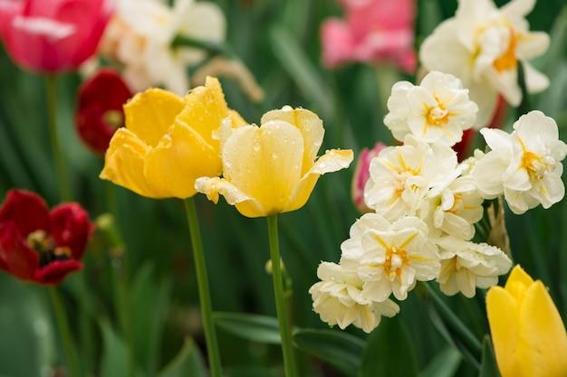 Tulipany kwiaty na rozmycie tła natury. tło wiosna
