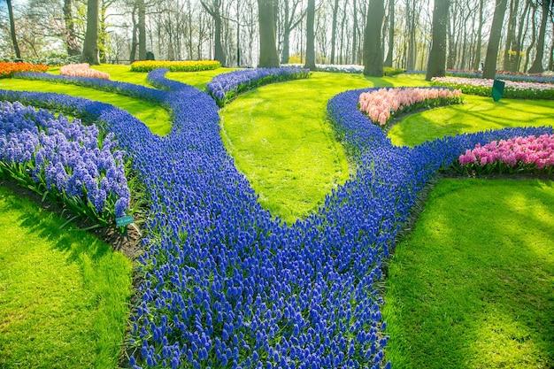 Tulipany kwitną gospodarstwo keukenhof. sezon wiosenny w amsterdamie w holandii.
