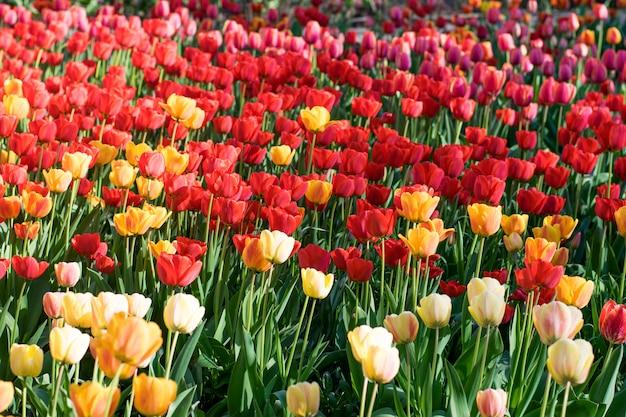 Tulipany kwitnące wiosną. polana kolorowych tulipanów.