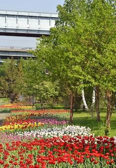 Tulipany na skarpie w nowosybirsku kwitnące kolorowe klomby