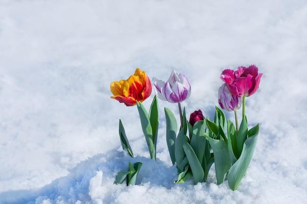 Tulipany o mieszanym kolorze z topniejącym śniegiem. kwiaty na śniegu