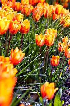 Tulipany pomarańczowe kwiaty