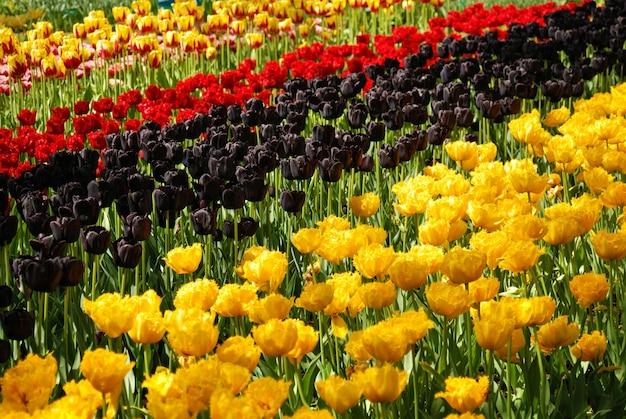 Tulipany w parku keukenhof, lisse, holandia