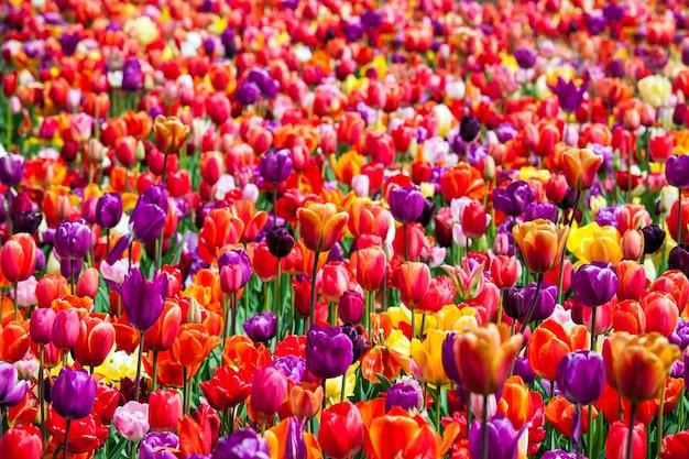 Tulipany w parku keukenhof w okolicy amsterdamu w holandii