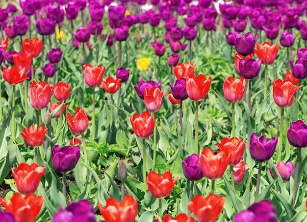 Tulipany w przyrodzie. tulipany rosną na polu. kwiat tło. tulipan kolorowe kwiaty. selektywne ustawianie ostrości.
