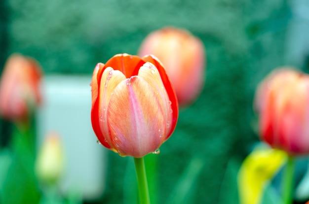 Tulipany zamazane tło