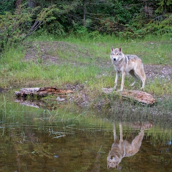 Tundra wolf reflected in a pond