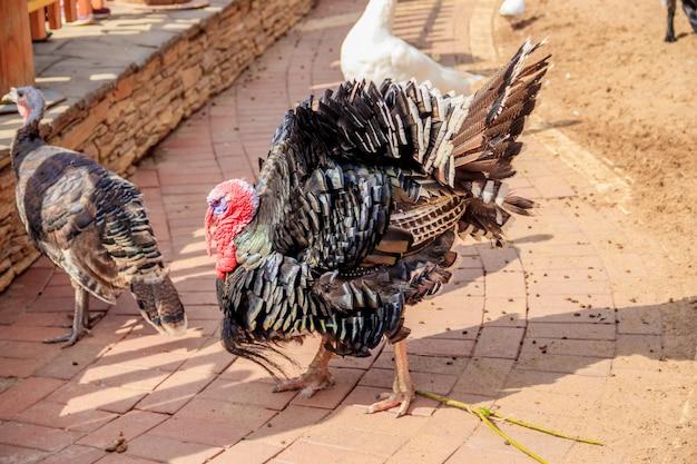 Turcja w zoo. drób. bydło. zwierzę w niewoli.
