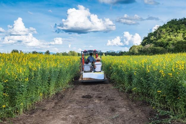 Turyści siedzący na traktorze widzą widok konopi słonecznych w ogrodzie