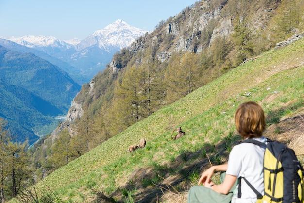 Turysta kobieta patrząc na dziką przyrodę w alpach, koziorożec pastwiskowy na trawiastym zboczu góry, koziorożec capra z dużymi rogami, wiosna